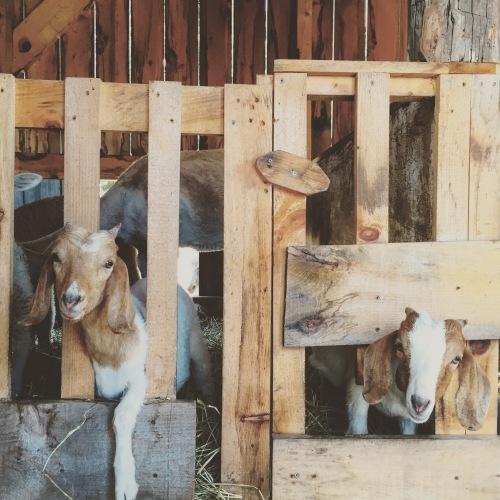 Chèvres Ferme Ethier