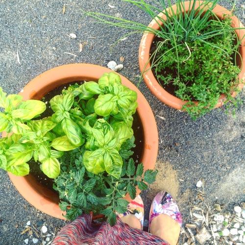 fines herbes en pot